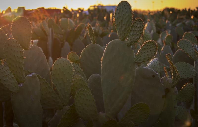 sunsetcactus